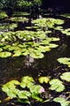 Lily pond in Hawaiian Tropical Botanical Gardens, west of Hilo. Big Island of Hawaii, HI.