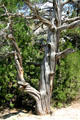 Twisted tree trunk near Oregon Trail wagon wheel ruts. WY.